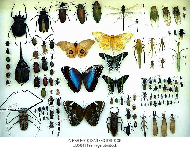 Synoptic insect collection, tropical insects, Brazil  Insects' size between 3mm to 15cm