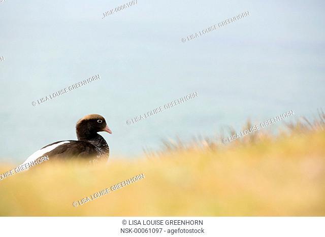 Kelp Goose (Chloephaga hybrida) resting near breeding colony, Falkland Islands