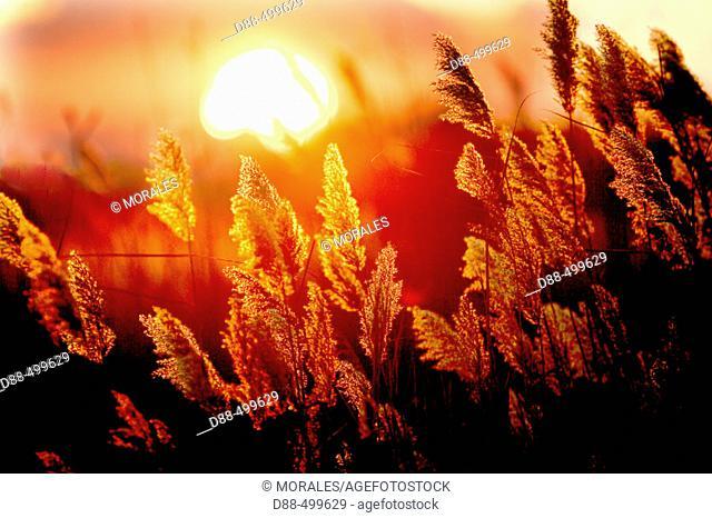 Common reed and sunset. Saintes-Maries-de-la-Mer. Bouches du Rhone. France