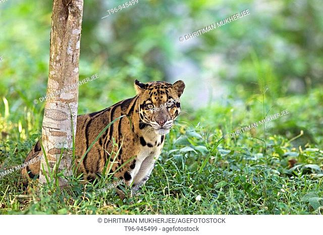 Clouded Leopard in Captive Situation India