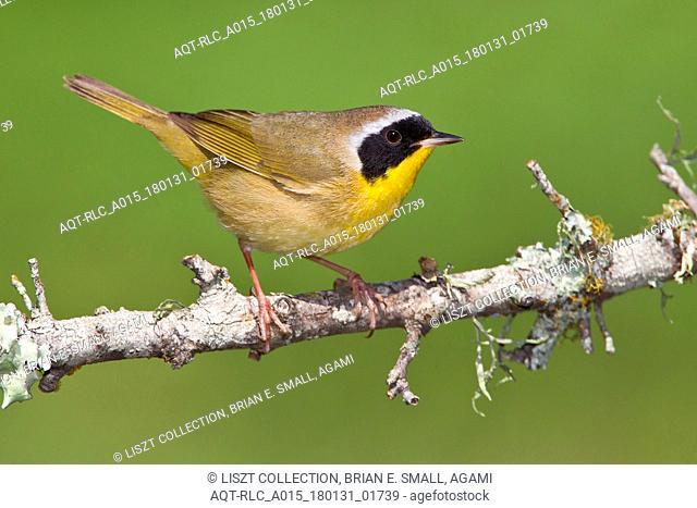 Adult male Common Yellowthroat, Common Yellowthroat, Geothlypis trichas