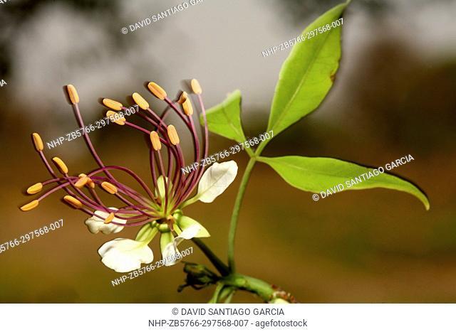 Flower of Crateva adansonii in the national park zakouma. Chad