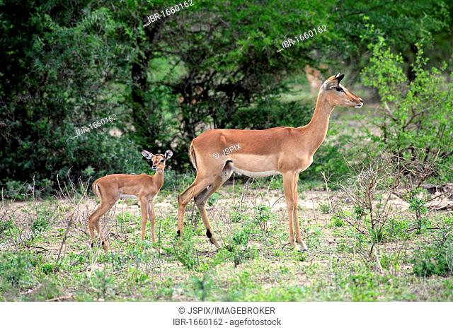 Impala (Aepyceros melampus), adult female with young, Kruger National Park, South Africa, Africa