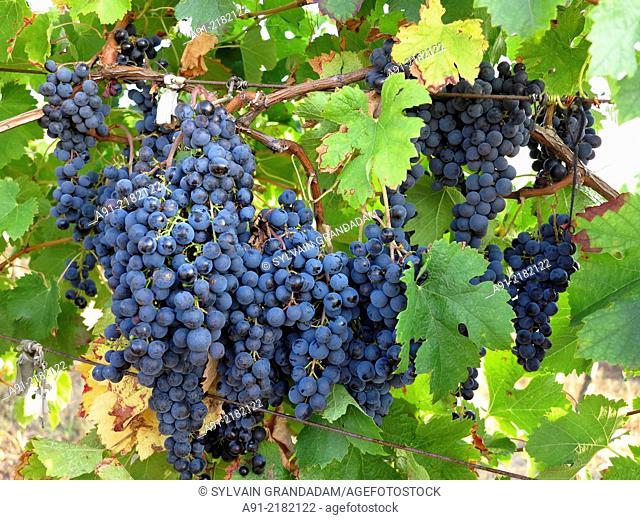France, Provence, Gironde (33), city of Sainte Foy la Grande on river Dordogne, vineyards, ripe grapes in september