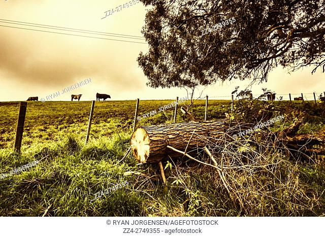 Tasmania outback landscape with tree trunk on ground and cows walking on pasture behind fence. Taken Camena, North-west Tassie, Australia
