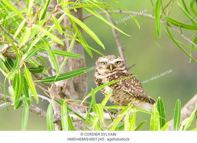 Brazil, Mato Grosso, Pantanal area, Burrowing Owl (Athene cunicularia)