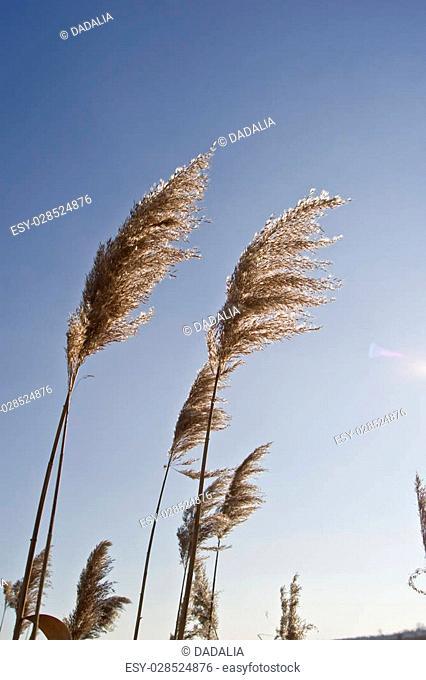 Common reed (Phragmites australis) on the waterfront