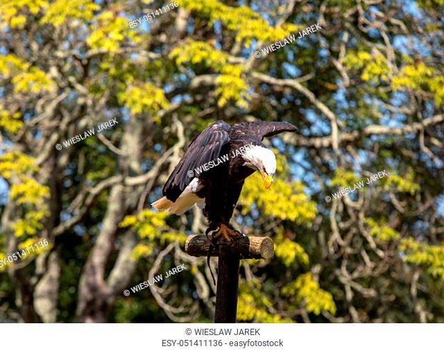 An American Bald Eagle - Haliaeetus leucocephalus