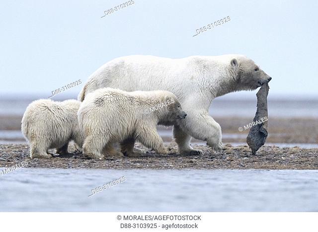 United States, Alaska, Arctic National Wildlife Refuge, Kaktovik, Polar Bear( Ursus maritimus ), female holds a piece of whale skin