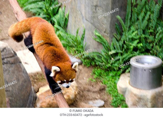 Cuddy red panda, Ocean Park, Hong Kong