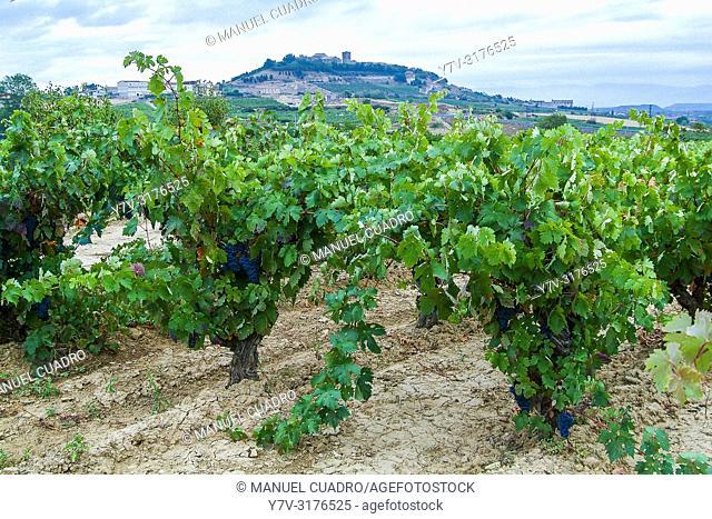 90 year old vineyard, Laguardia area, Rioja Alavesa, Basque Country, Spain
