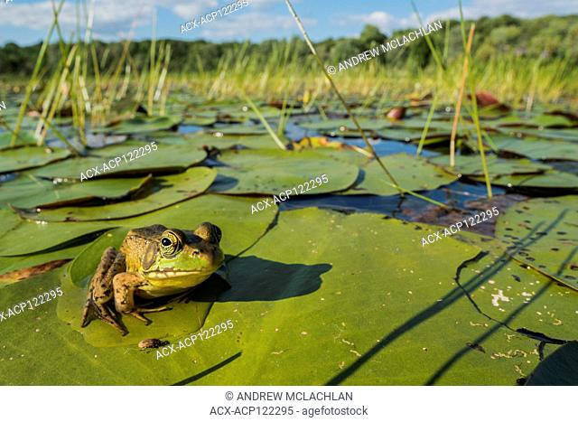 Green Frog (Rana clamitans) in wetland on Horseshoe Lake in Muskoka, near Parry Sound, Ontario, Canada
