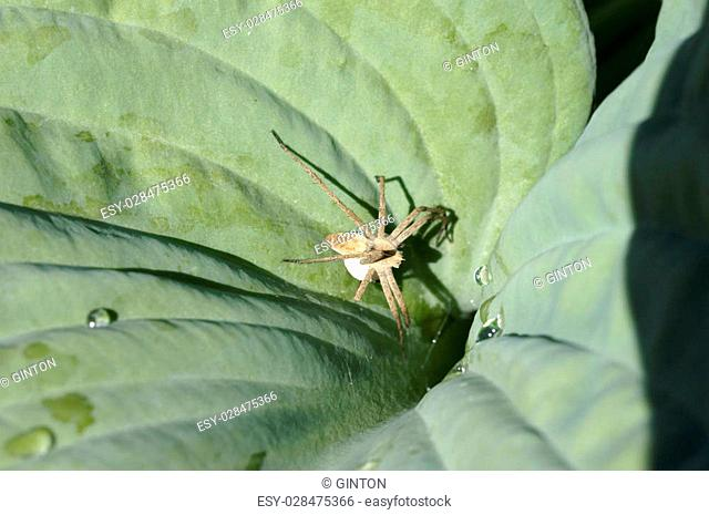 The macro close-up of a female Nursery web spider, Pisaura mirabilis, which sits with a egg sac on a leaf
