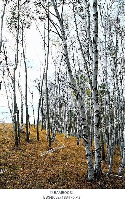 Birch forest on the dam, Mulan, Hebei Province of People's Republic of China