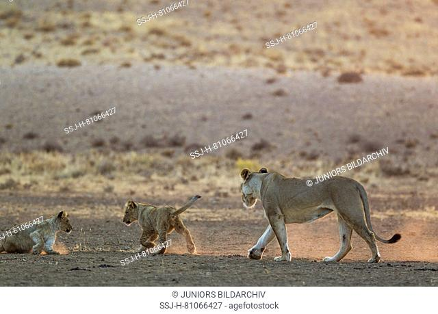 African Lion (Panthera leo). Female with two playful cubs in the light of the early morning. Kalahari Desert, Kgalagadi Transfrontier Park, South Africa