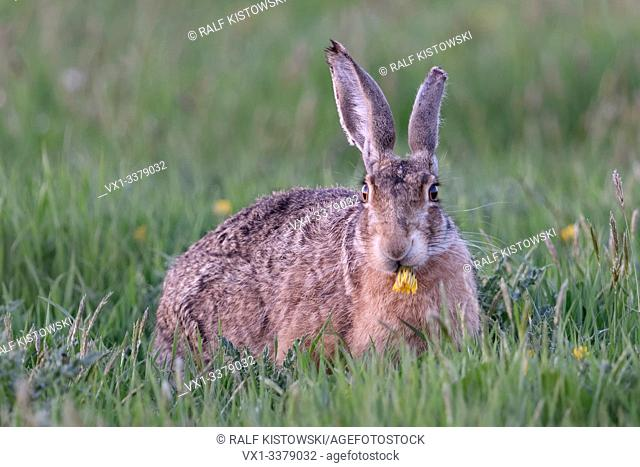 European Hare / Brown Hare / Feldhase ( Lepus europaeus ) sitting in grass, feeding on a flower, watching directly, looks funny, wildlife, Europe