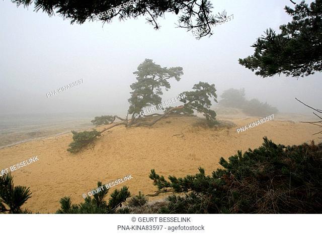 Scots Pine Pinus sylvestris - Kootwijkerzand, Veluwe, Guelders, The Netherlands, Holland, Europe