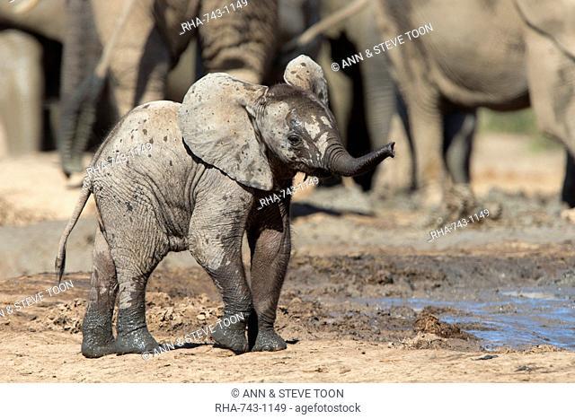 African elephant calf (Loxodonta africana) at Hapoor waterhole, Addo Elephant National Park, South Africa, Africa