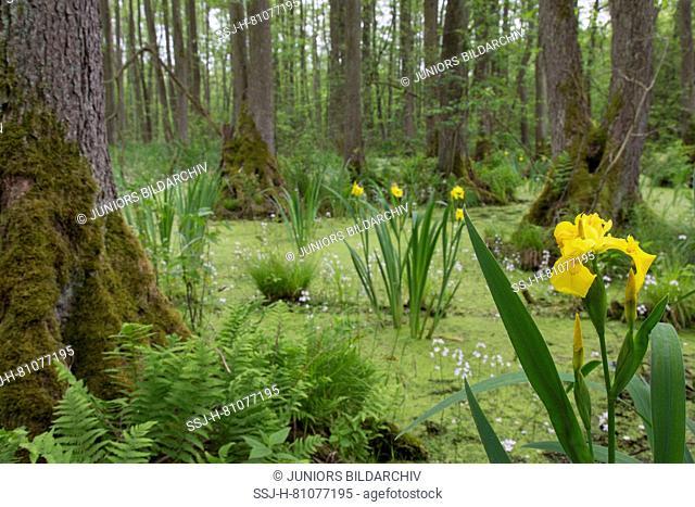 Alder carr with European Alder (Alnus glutinosa), Flag Iris, Yellow Flag (Iris pseudacorus) and Water Violet, Featherfoil (Hottonia palustris) in spring