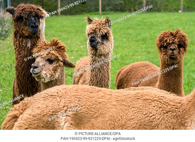 """14 April 2019, Lower Saxony, Drantum: Alpacas stand in a meadow. On their farm """"""""Herzog-Alpakas"""""""" a family offers photo shoots and wool products as well as..."""