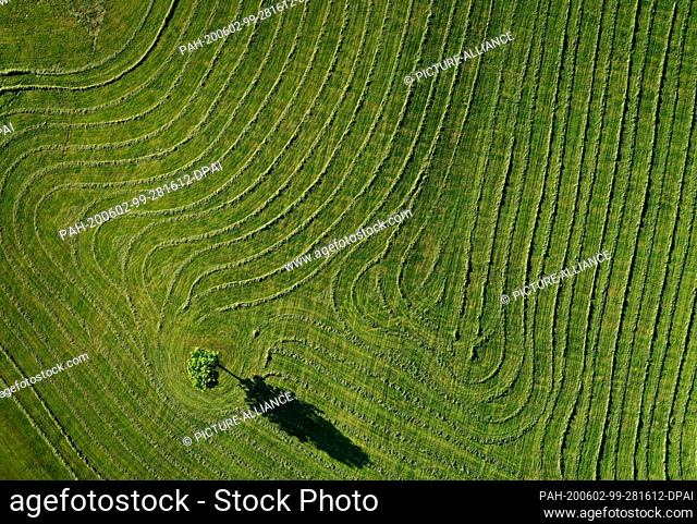 02 June 2020, Bavaria, Seeg: Webs of freshly cut grass are lying in the evening light to dry on a pasture around a tree (aerial view with a drone)
