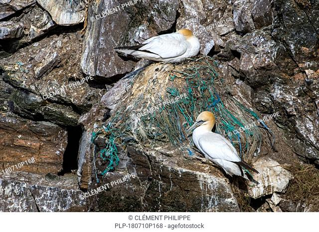 Northern gannet (Morus bassanus) breeding on nest made with parts of nylon fishing nets and ropes in sea cliff at seabird colony in spring