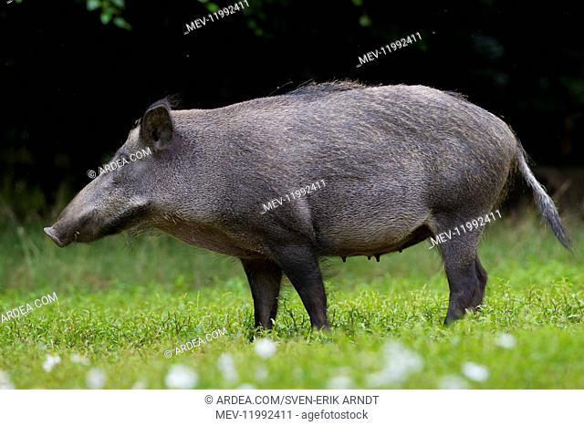 Wild Boar - sow - Germany