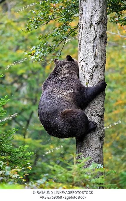 Brown Bear, Ursus arctos, Climbs on tree, Bavaria, Germany