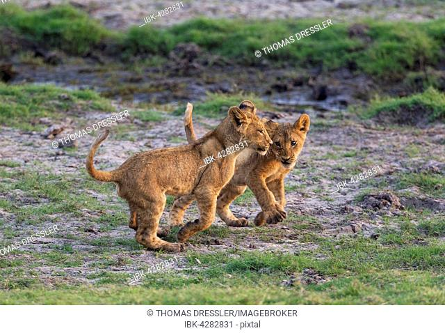 Lion (Panthera leo), two cubs play, early morning, Chobe National Park, Botswana