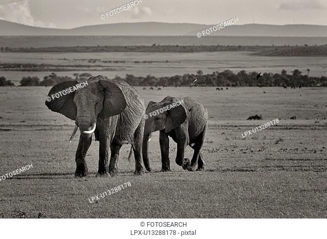 Adult female elephant, walking across Mara plain with baby behind her, panorama of landscape behind, monochrome, Masai Mara, Kenya, East Africa