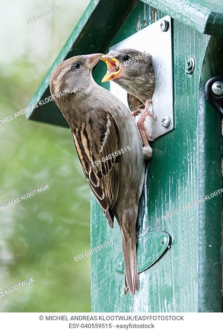 Adult sparrow feeding a young sparrow in a birdhouse