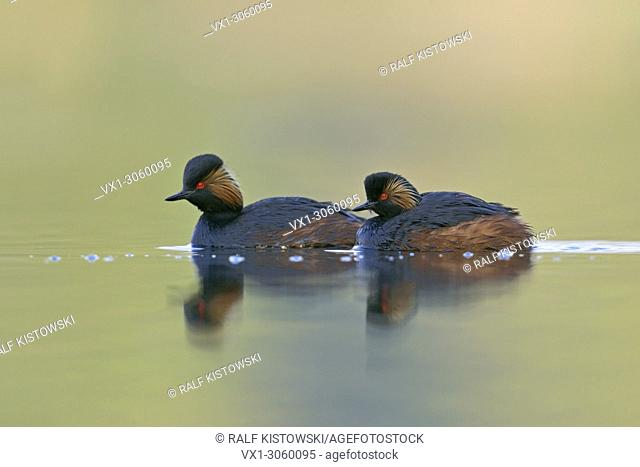 A pair of Black-necked Grebes / Eared Grebes (Podiceps nigricollis ) swiming on colorful water, wildlife, Europe. .