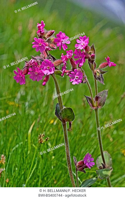 Red campion (Silene dioica), blooming in a meadow, Germany