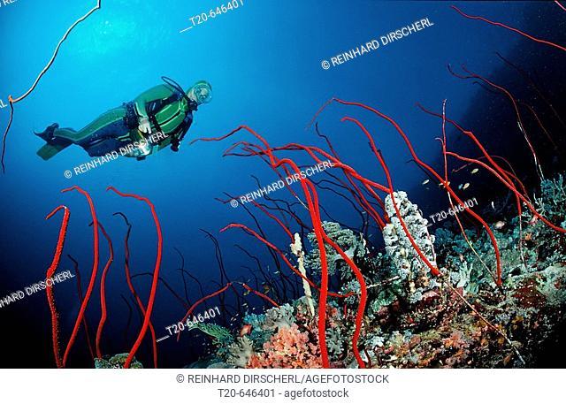 Scuba diver and Red whip corals, Juncella sp., Sudan, Africa, Red Sea