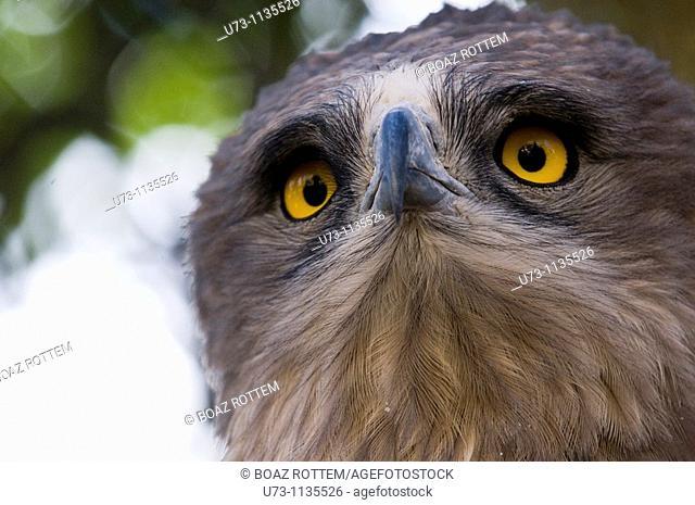 Short toed eagle - portrait