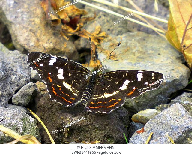 map butterfly, summer form (Araschnia levana f. prorsa), on a stone, sommer form, Germany