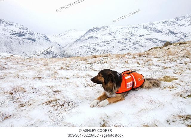 A SARDA Search and Rescue Dog Association dog on a search for a missing walker in the Lake District UK