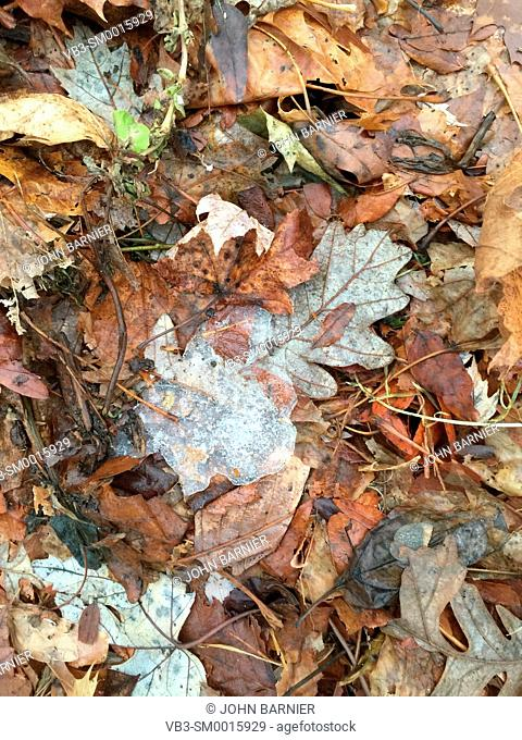 Small patch of ice resting on an oak leaf, among a bed of dead and decomposing leaves in early winter
