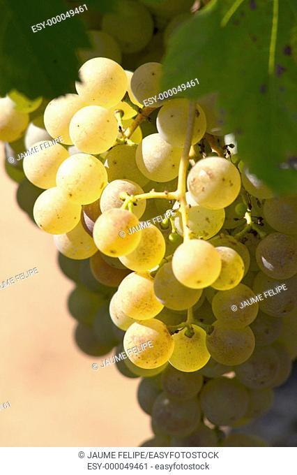 White grapes (Vitis vinifera, var. Xarel.lo). Moià, Olèrdola, Alt Penedès. Barcelona province, Catalonia, Spain