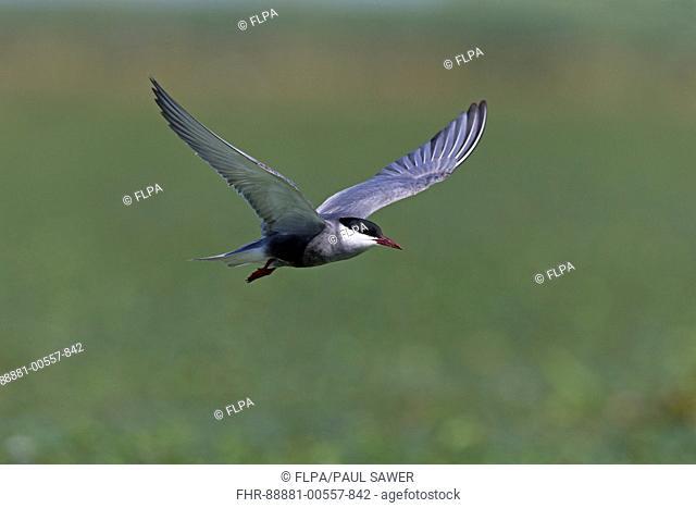Whiskered Tern (Chlidonias hybrida) summer plumage adult, flying, Danube Delta, Romania, June