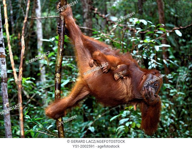 Orang Utan, pongo pygmaeus, Mother with Young hanging from Branch, Borneo
