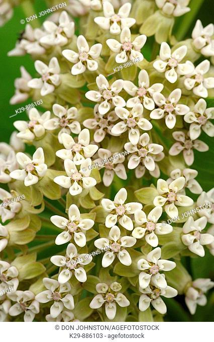 Common milkweed Asclepias syriaca flowers