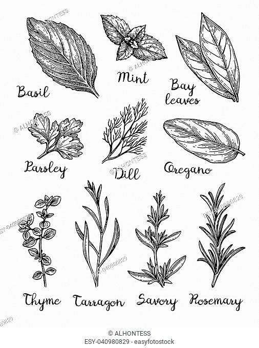 Herbs set. Collection of ink sketches isolated on white background. Hand drawn vector illustration. Retro style