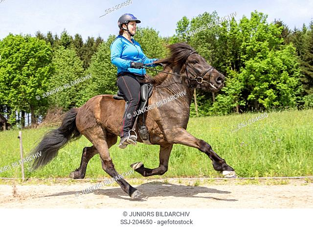 Icelandic Horse. Girl performing the flying pace on a mare on a riding place. Austria