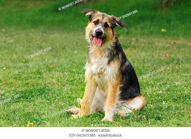 a shepherd breed dog sitting tilts his head listening with a caring and cheerful look