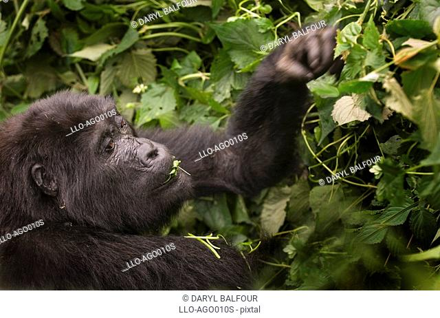 Profile of Mountain Gorilla Gorilla beringei beringei Eating Leaves  Bwindi Forest, Uganda