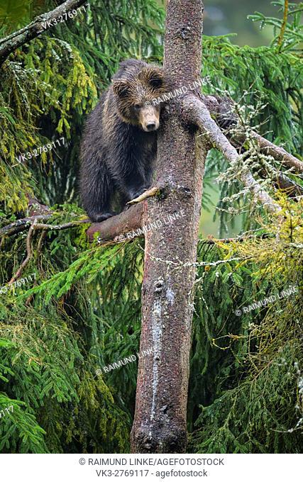 Brown Bear, Ursus arctos, Cub in tree, Bavaria, Germany