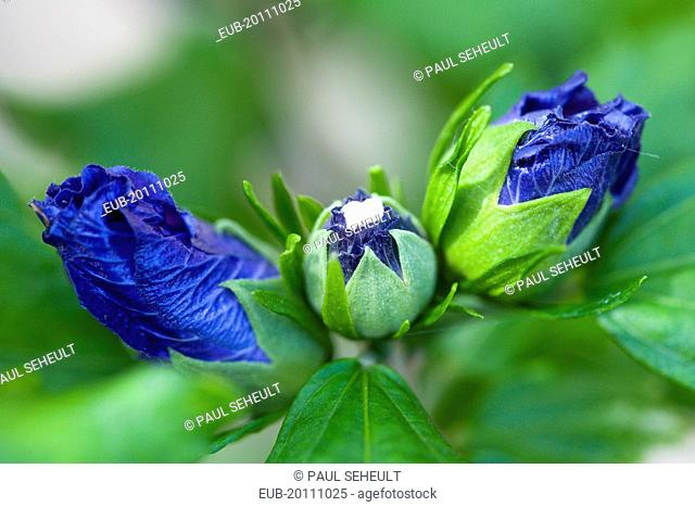 Rose mallow Hibiscus syriacus Blue Bird purple blue buds opening among green leaves on a shrub
