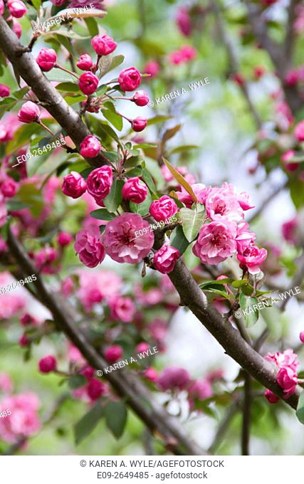flowering tree with pink rose-like flowers (probably Brandywine crabapple), springtime, Monroe County, Indiana