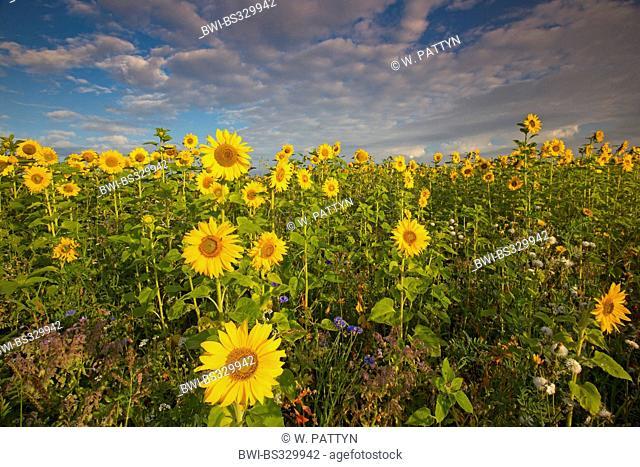 common sunflower (Helianthus annuus), sunflowerfield, Netherlands